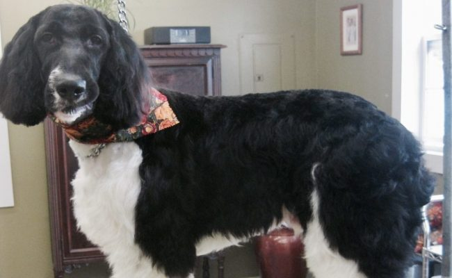 Black and white dog just groomed