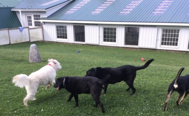 dogs playing in pet care