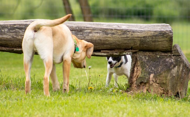 Lab and small dog playing near a bench