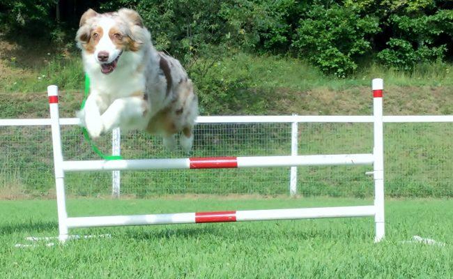 Dog jumping over a hurdle
