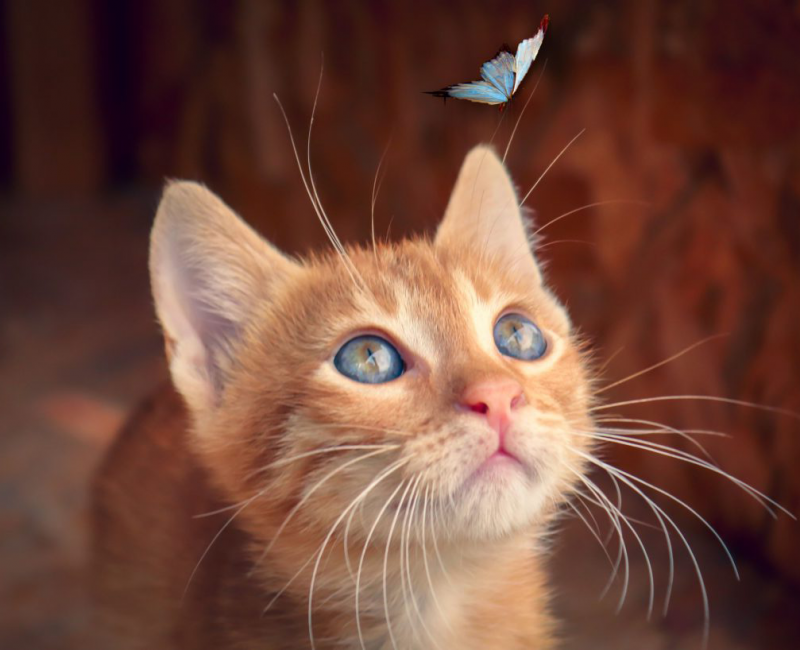 An orange cat looking up at a blue butterfly