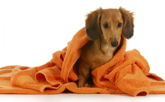 young dog wrapped in a towel