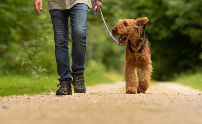 Trained dog walking on a leash
