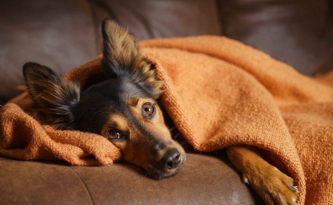 Dog wrapped in orange blanket