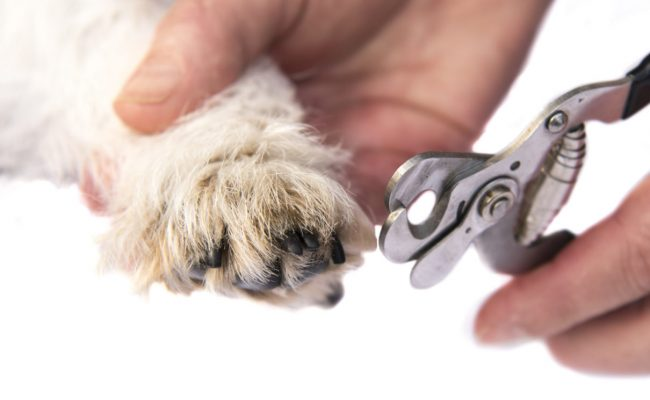 Clippers cutting a dogs claws